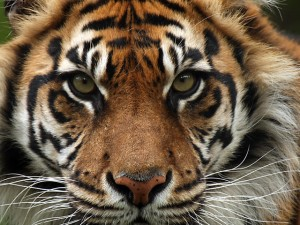 Sumatran-Tiger from Worldwildlife.org