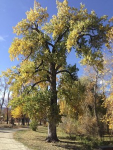 Queen Cottonwood Tree