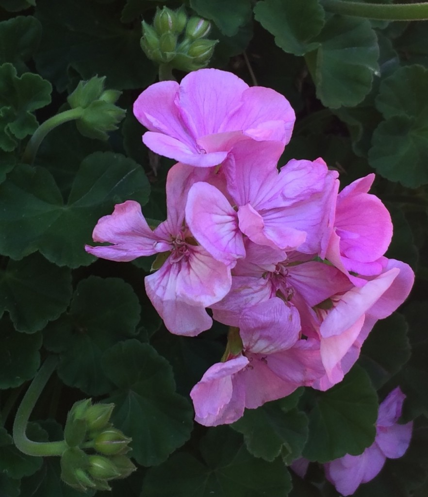 Geranium Bloom